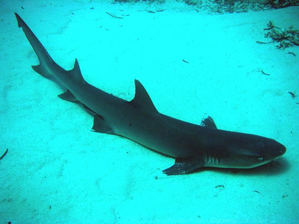 http://haflinger2.free.fr/forums/Requin%20%e0%20aileron%20blanc_1.jpg